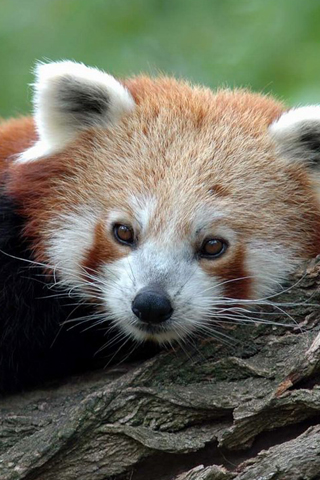 Red Panda iPhone Wallpaper