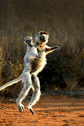 Lemur iPhone Wallpaper
