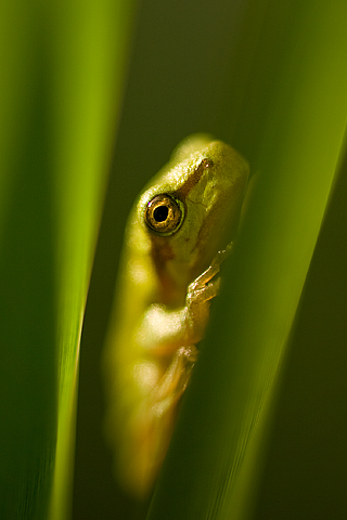 Hiding Frog iPhone Wallpaper