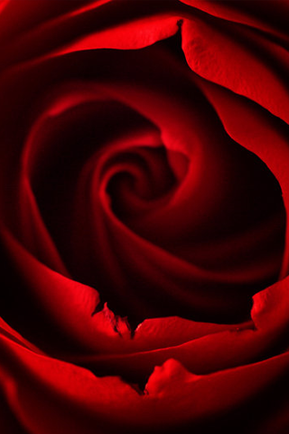 Red Rose iPhone Wallpaper