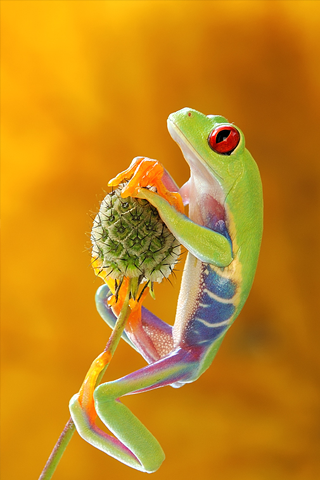 Colorful Frog iPhone Wallpaper